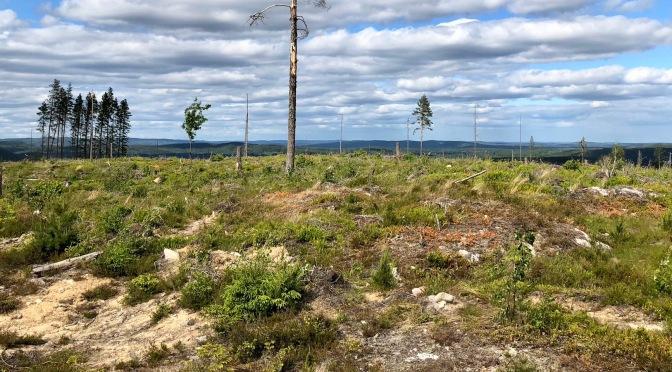 Det brutala skogsbruket sågar i folksjälen